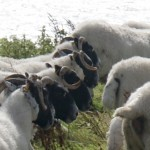 Sheep on Hestan Island