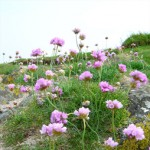 Sea Pink, Latin name: Armeria maritima