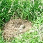 Seagull nest on top of Hestan Island
